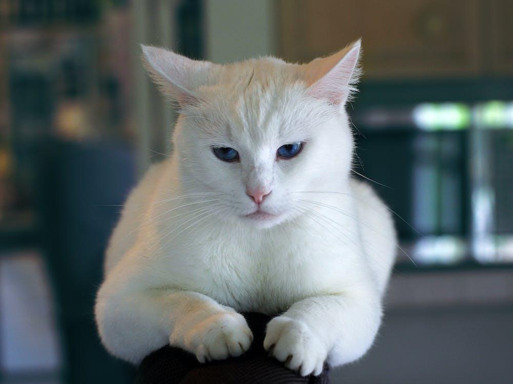 кішка, кошеня, тварина