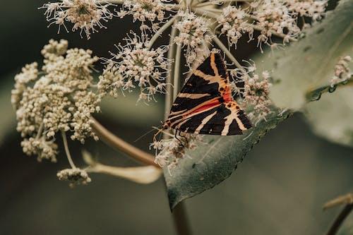Arctiinae sitting on green leaf