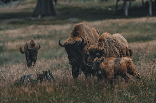 Herd of brown bison with horns walking on grassy meadow with tree while pasturing in rural area on summer day