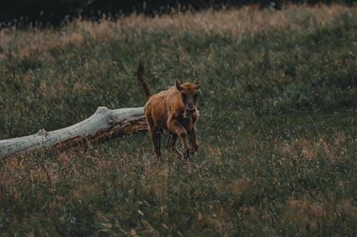 Brown calf running on grassy meadow