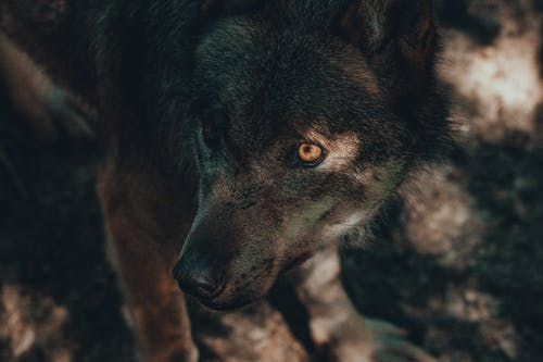 Brown and Black Wolf on Brown Ground