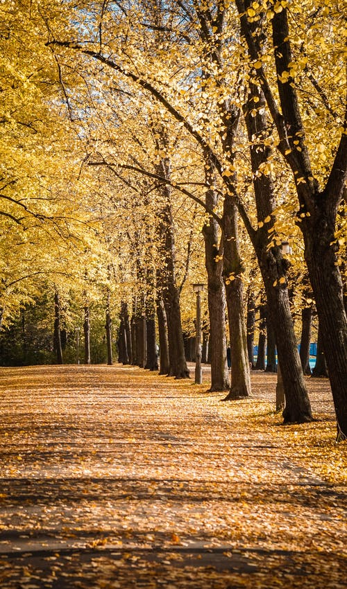 Empty walkway covered with fallen yellow leaves between trees in sunny autumn day in park