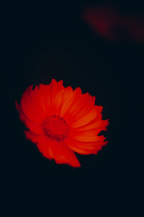 Free stock photo of bright red, contrast, flower