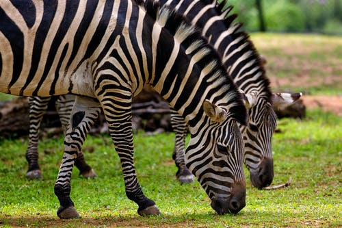 Photography of Two Zebra Eating Grass