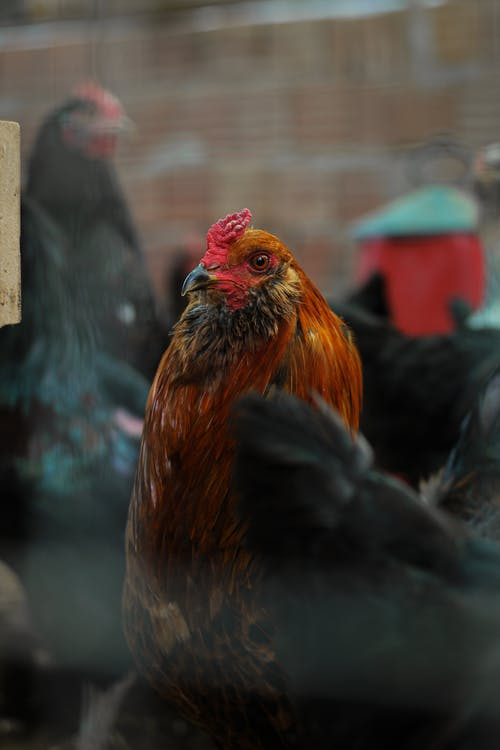Graceful brown rooster and black hens standing in enclosure with brick wall on background in daylight