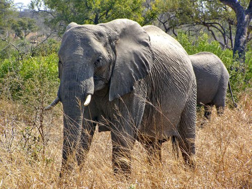 Photo of an African Elephant With Tusks on Dry Grass