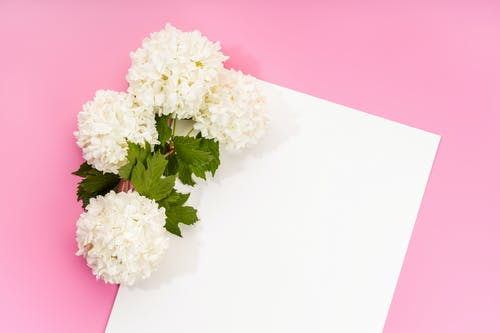Free stock photo of beautiful flowers, blank card, chinese ball flower
