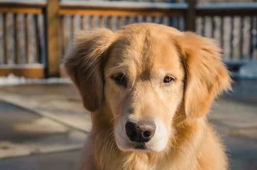 Adult Golden Retriever Close-up Photo
