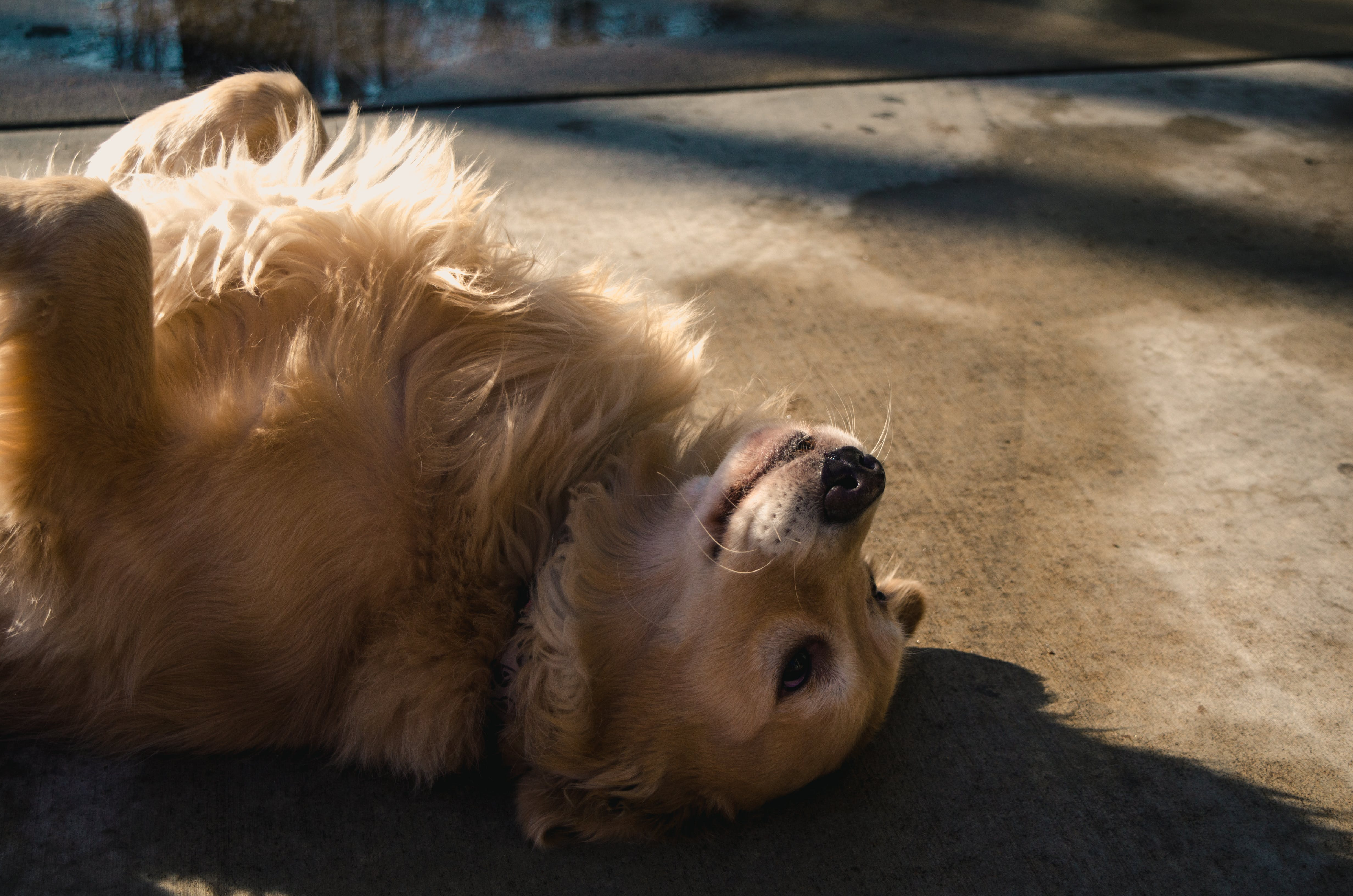 Adult Golden Retriever Lying on Concrete Road