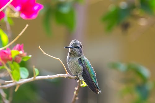 Free stock photo of animal, anna hummingbird, bird