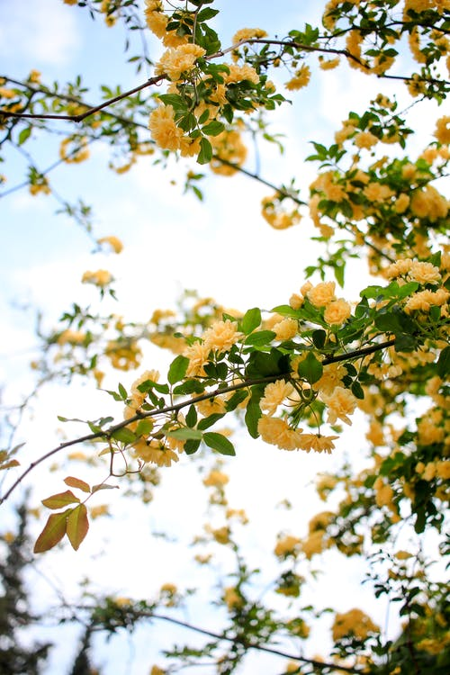 Blossoming rose bush with yellow flowers in garden