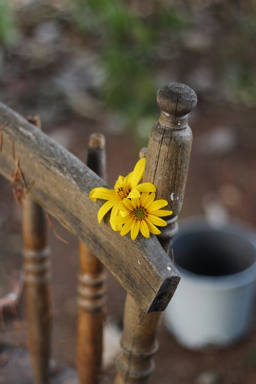 Blossoming flowers with wavy petals on wooden chair