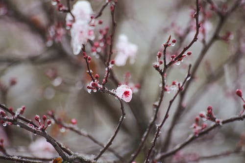 Blooming Sakura tree with frost on curved twigs