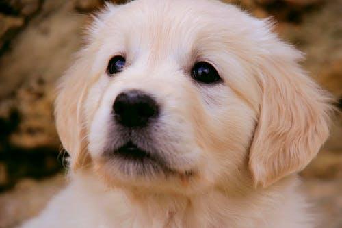 Yellow Labrador Retriever Puppy in Close Up Photography