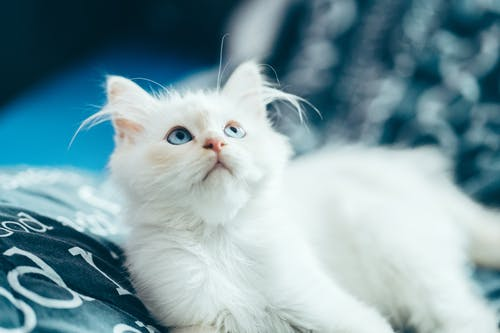 High angle of fluffy domestic white kitten with blue eyes lying on bed