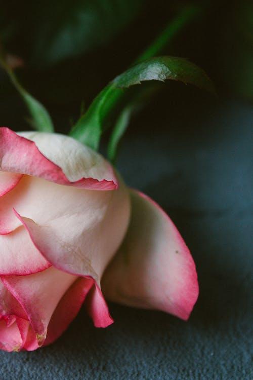 Fresh aromatic rose arranged on table