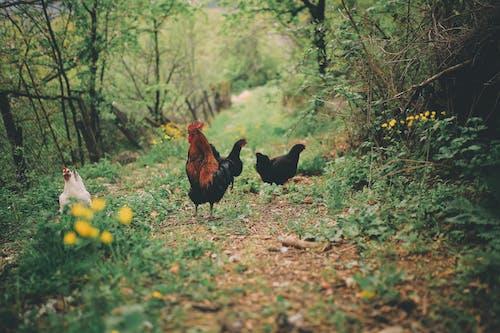 Free stock photo of animal, bird, chicken