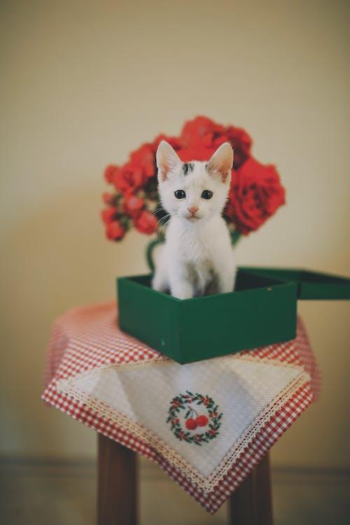 White Kitten in Green Box