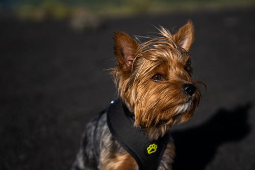 A Close-Up Shot of a Yorkshire Terrier
