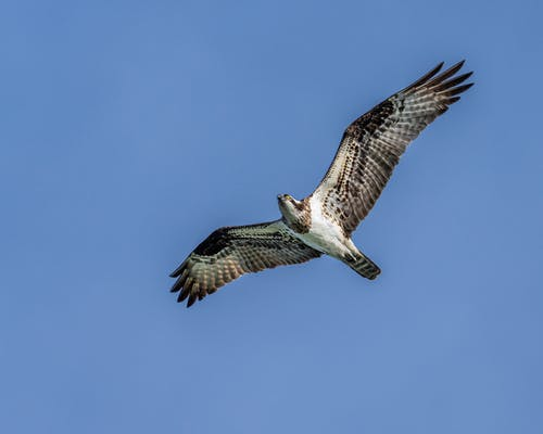 From below of large predatory bird with ornamental wings flying in sunlight on blue background