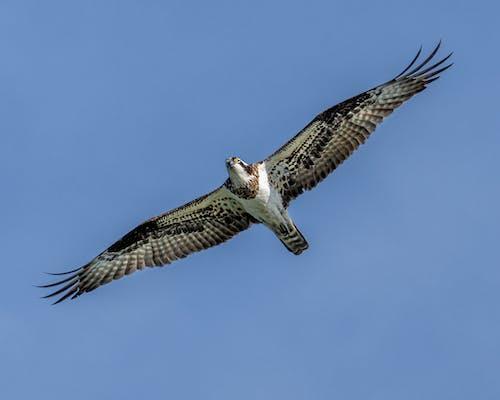 Graceful osprey flying in blue sky