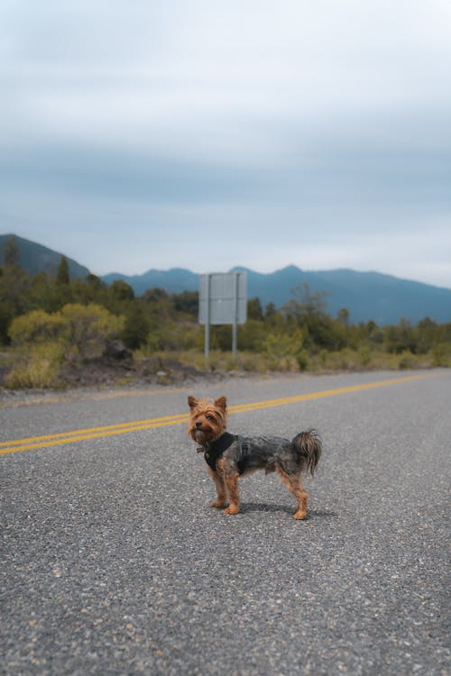 Brown and Black Yorkshire Terrier Running on the Road