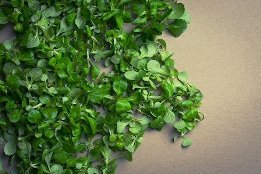 Free stock photo of vegetables, lettuce, lambs lettuce