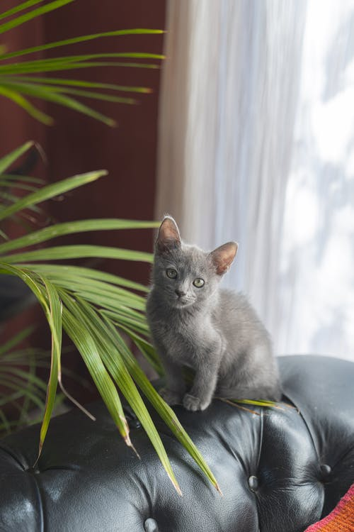 Gray Cat on Leather Sofa