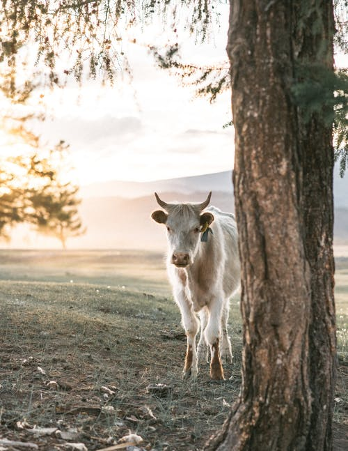 Cow between tree and mountains in countryside field