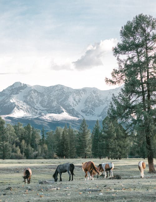 Horses grazing in pasture against evergreen trees and snowy mountain