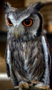 eyes, beak, owl