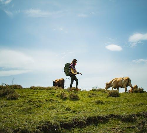 Free stock photo of adventure, cattle, cavalry