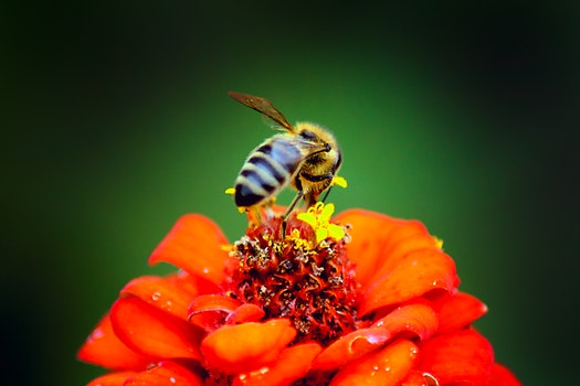Honeybee Perched on Red Petaled Flower in Closeup Photography
