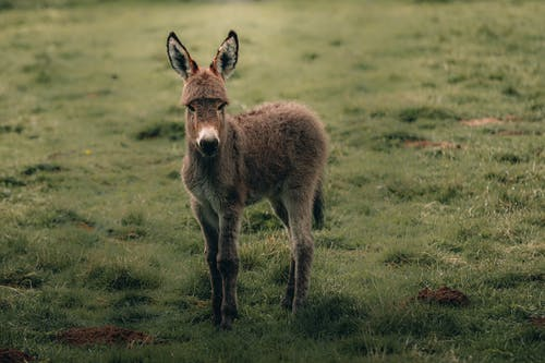 Fluffy calm Cotentin Donkey standing on green grassy lawn while pasturing in countryside