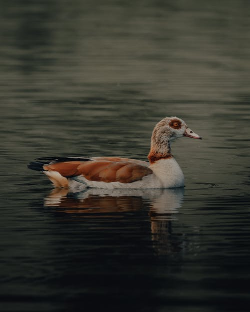 Side view of graceful Egyptian goose floating on rippling surface of lake in nature