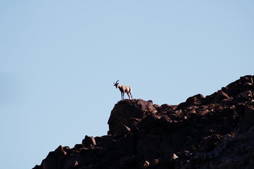 White and Brown Goat on Rock