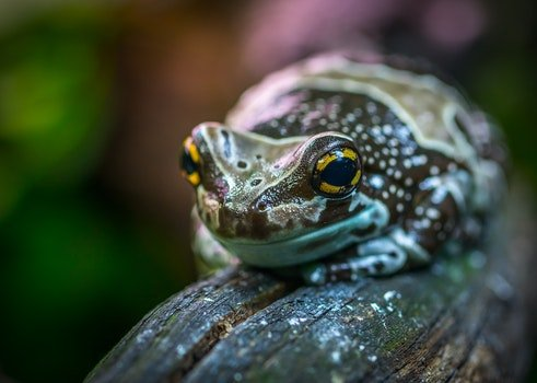 Brown and Gray Poison Arrow Frog