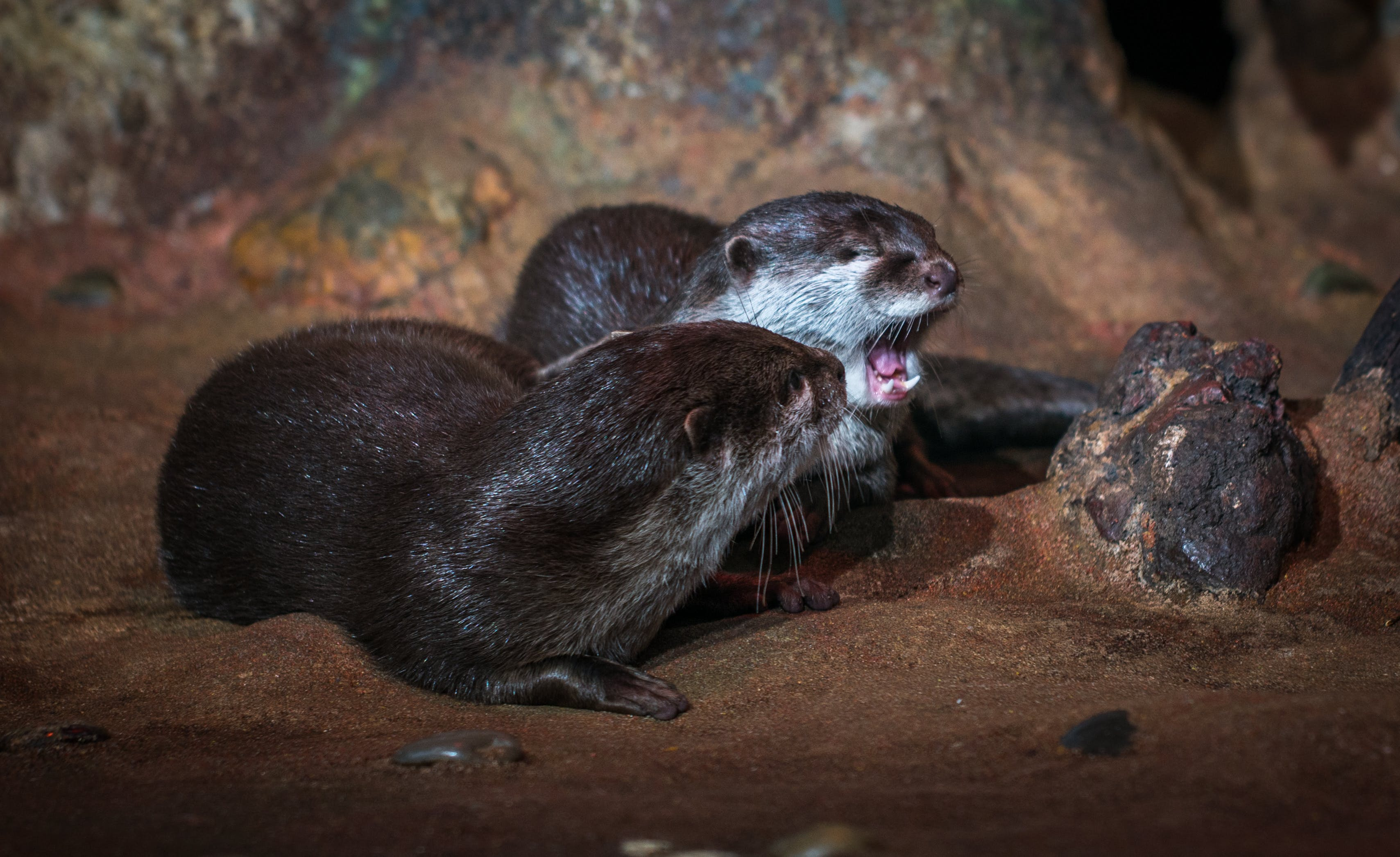 Free stock photo of otter