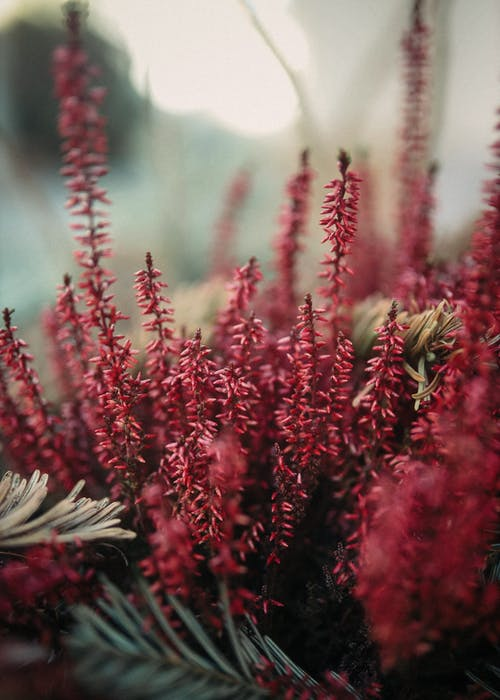 Blooming branches of heather growing in nature
