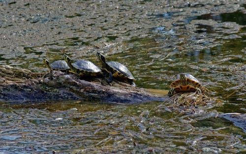 Turtles on Brown Rock Near Body of Water
