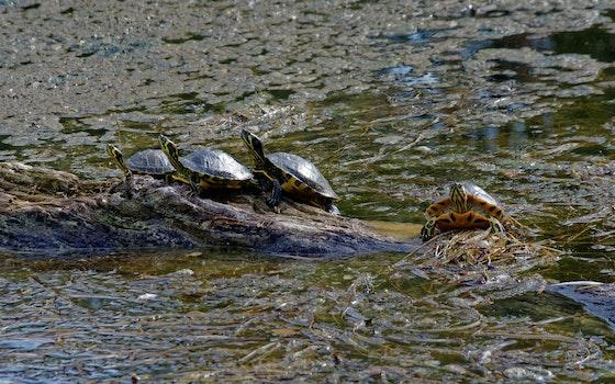 Turtles on Brown Rock Near Body of Water