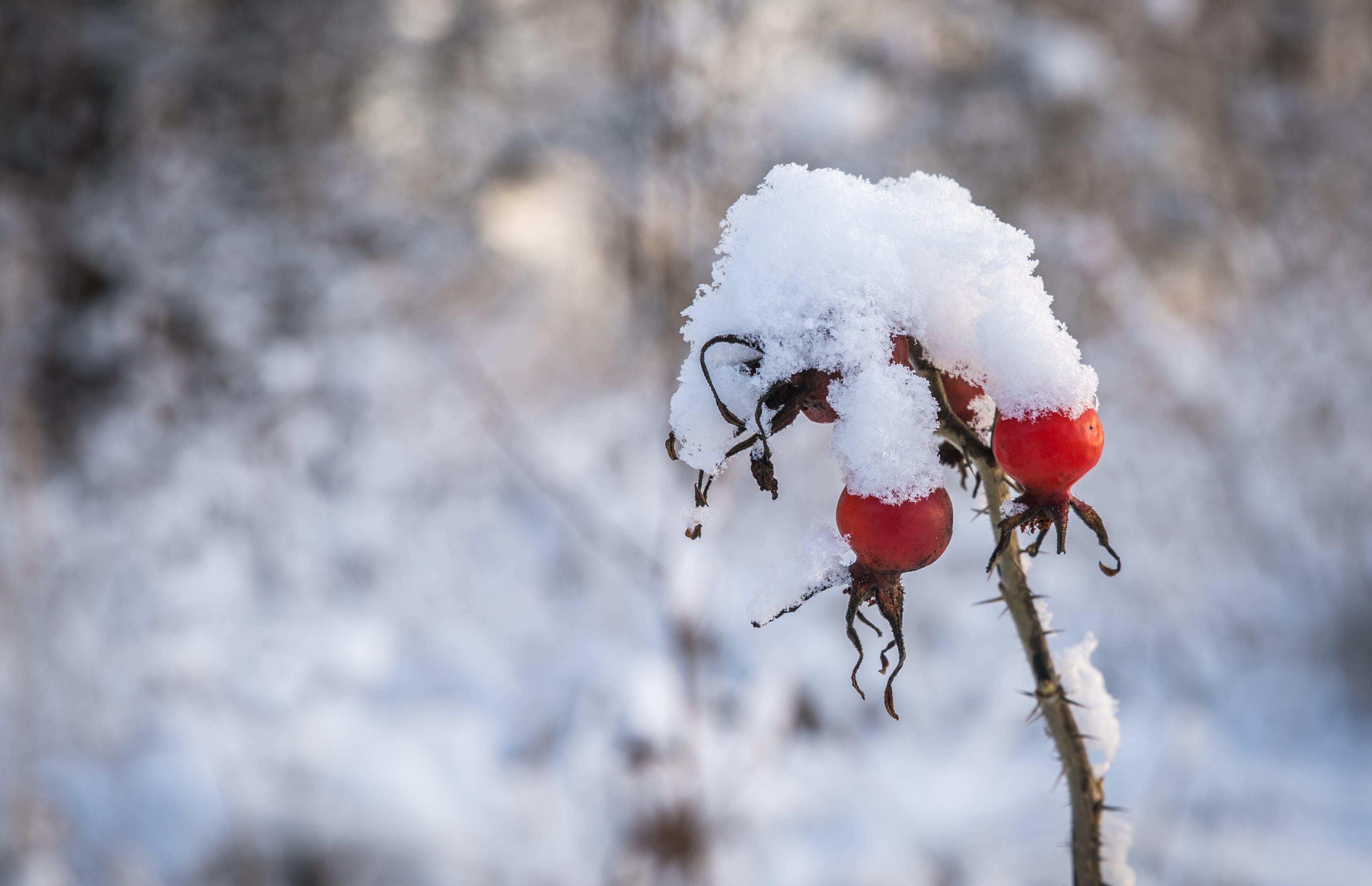 Free stock photo of snow, dogrose
