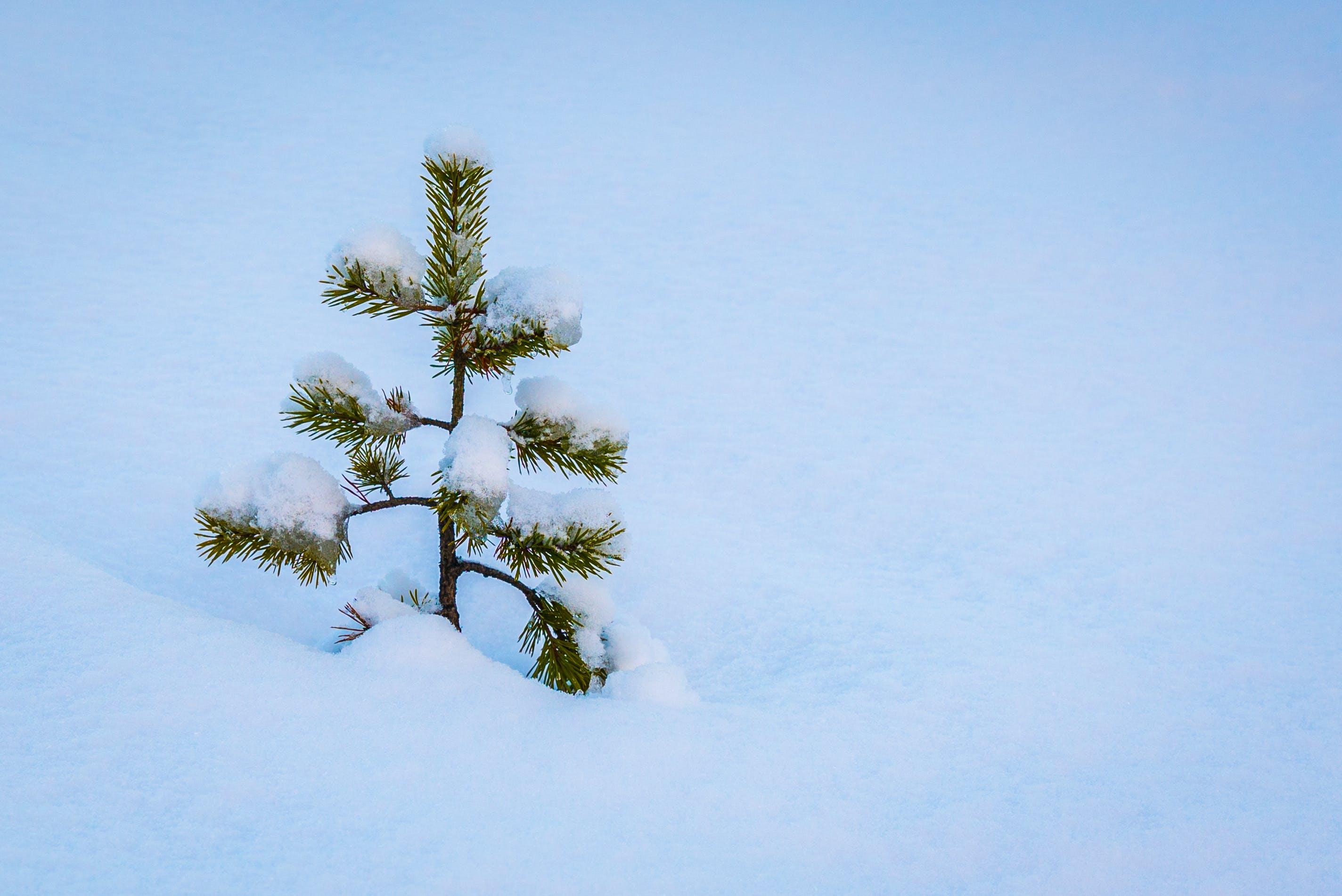 Free stock photo of pine, snow