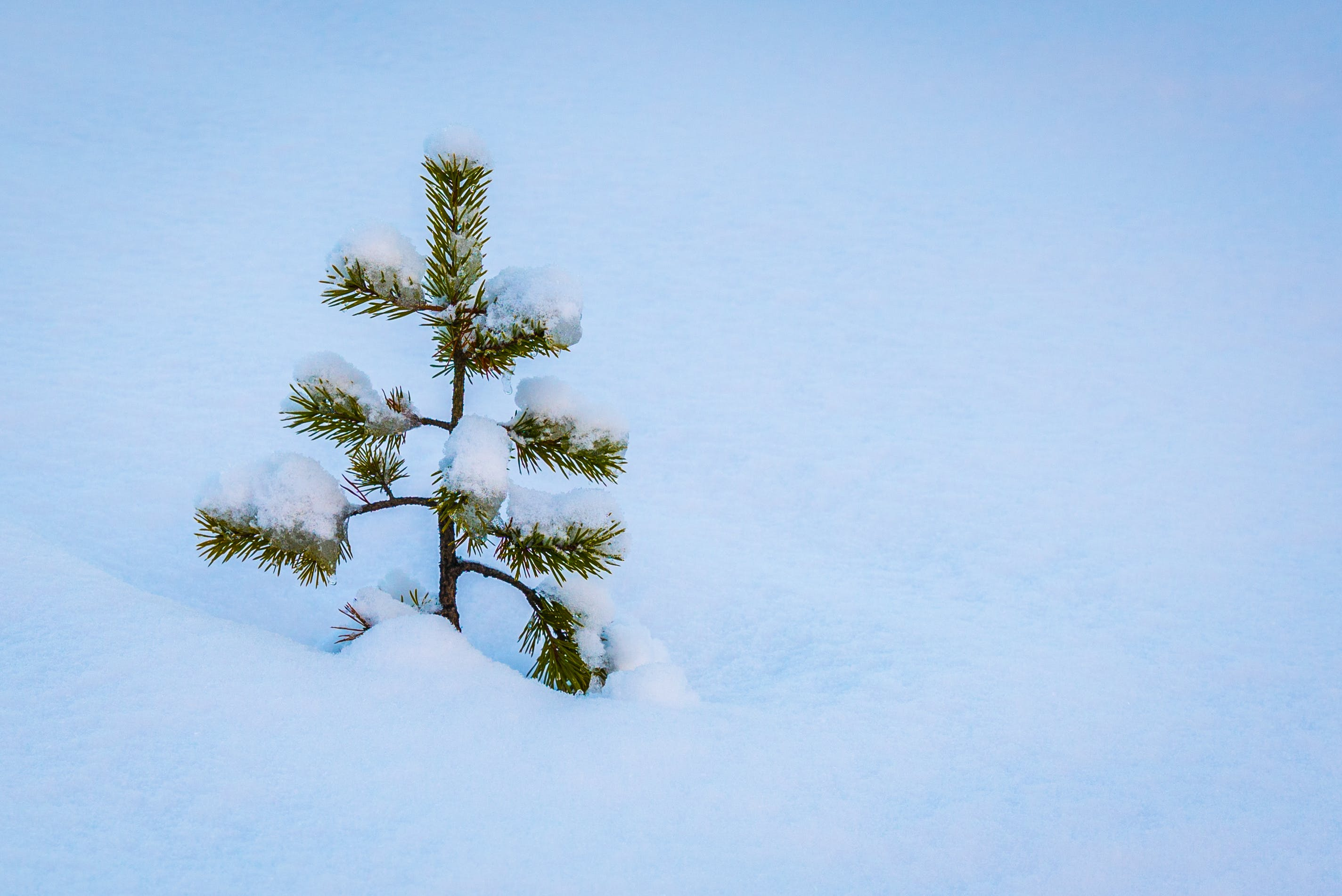 Free stock photo of snow, pine