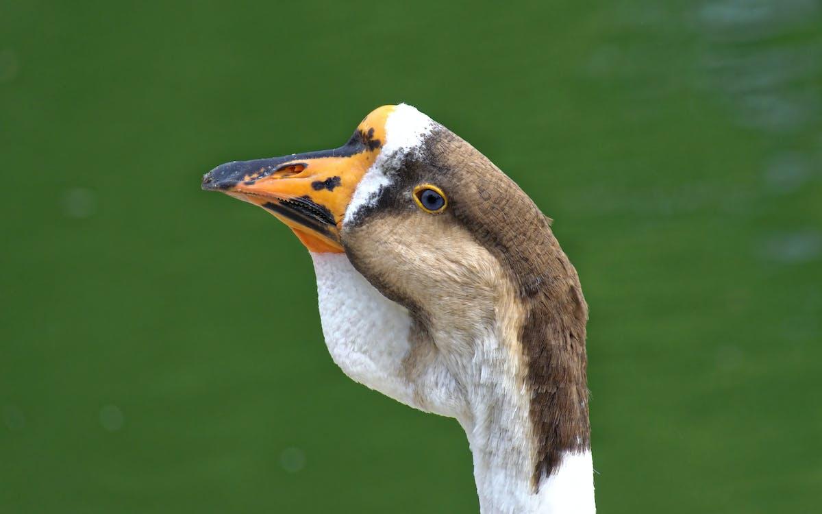 вид сбоку, вода, водоплавающая птица