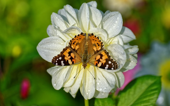 Brown Butterfly on White Petaled Flower