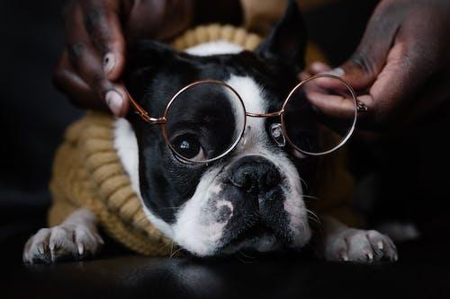 Základová fotografie zdarma na téma bostonský teriér, brýle, čenich