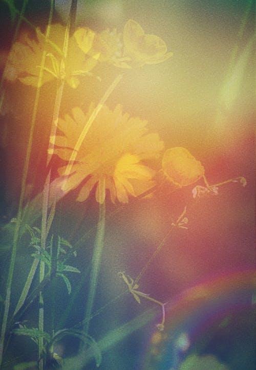 Immagine gratuita di doppia esposizione, fiori, fiori gialli
