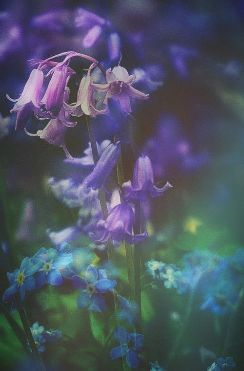 Free stock photo of blue flowers, bluebells, blur