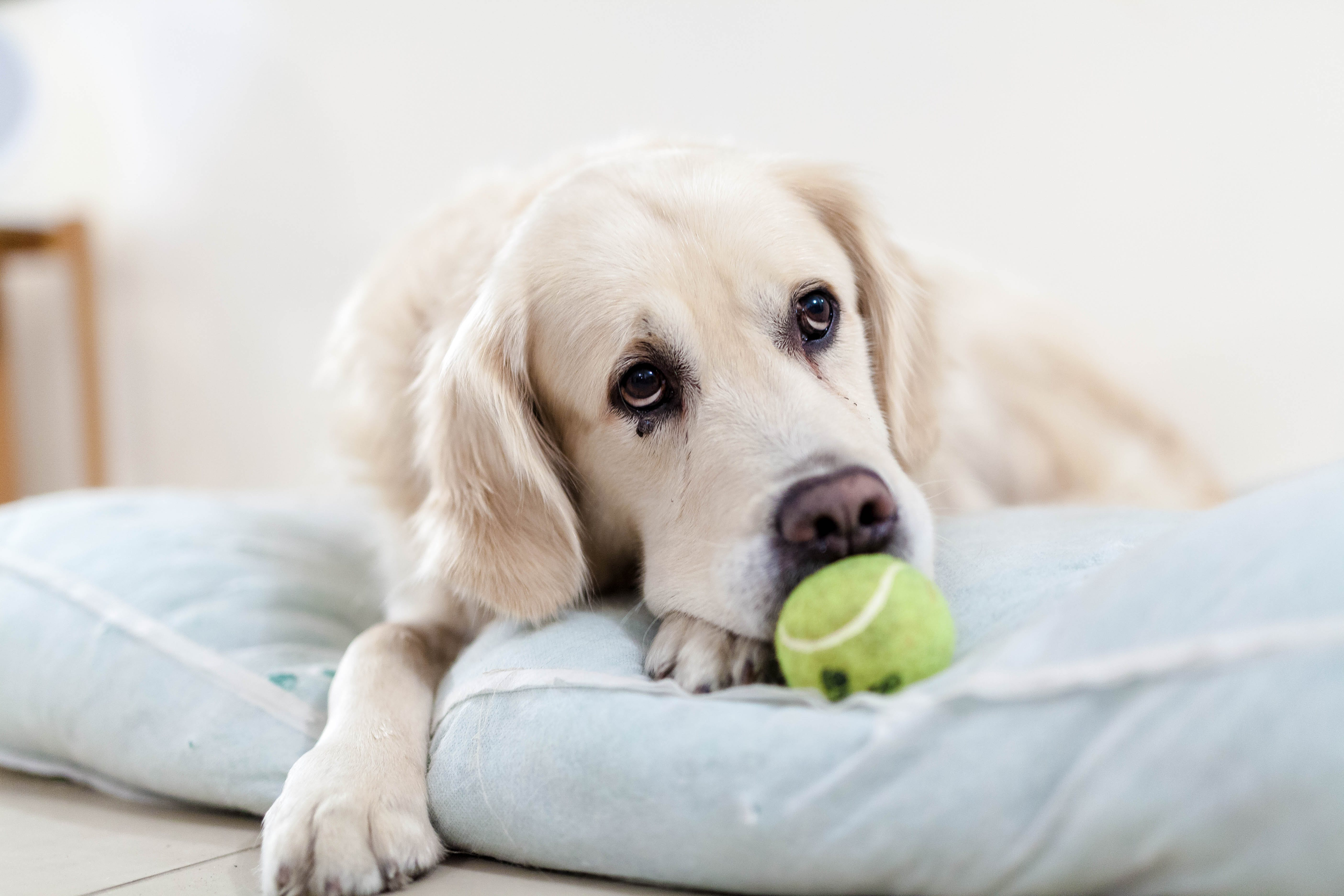 Yellow Tennis Ball in Front of the White Short Coated Dog